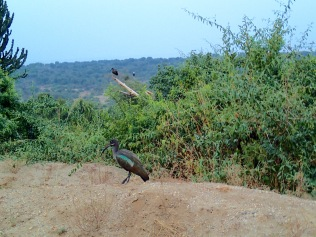 Hadada ibises, hanging out near Mweya Safari Lodge , Queen Elizabeth National Park