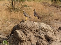 African wattled lapwing plovers on termite mound. They make the funniest call. Queen Elizabeth NP