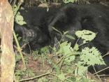 Two gorillas, resting in brush, Habinyanja Group,Bwindi Impenetrable NP