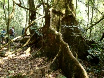 Tree with tall buttress roots, Kibale Forest NP