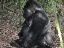 Mr. Lucky, silverback patriarch of Hirwa Group, Volcanoes NP