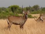 Waterbuck, Queen Elizabeth NP