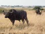 Cape buffalo after mud bath, Queen Elizabeth NP