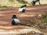 Colobus monkeys, Bwindi Impenetrable NP
