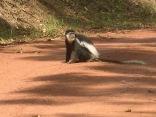 Colobus monkey, Bwindi Impenetrable NP