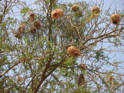 Weaver bird nests, Queen Elizabeth National Park