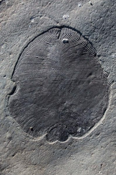 Dickinsonia Fossil / Bobrovskiy, et al, COSMOS / Click for more.