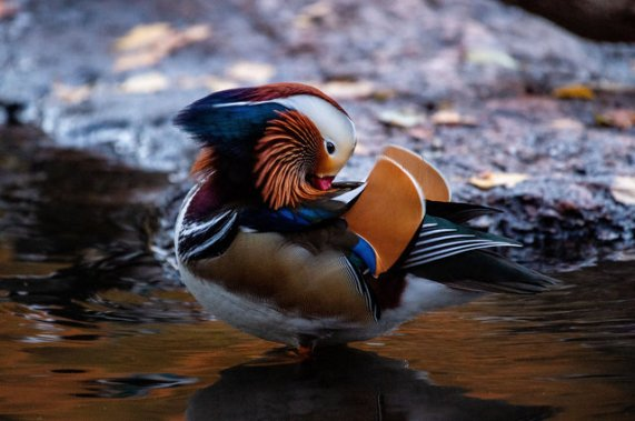 Mandarin duck of Central Park, undated / Steven Ferdman, Shutterstock, Gothamist / Click for more.