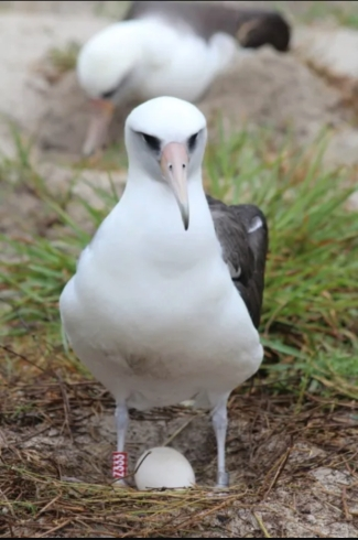 Wisdom, the Laysan Albatross, Midway Island, 2018 / USFWS, Gizmodo / Click for more.