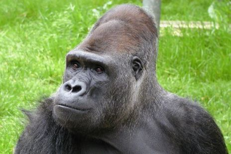 37-year-old captive Lowland Gorilla, Ndume, The Gorilla Foundation, Woodside, CA, undated / The Gorilla Foundation / Click for more.