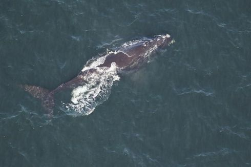 North Atlantic Right Whale returning to waters off Florida & Georgia, Dec. 2018 / Sea to Shore Alliance, Smithsonian/ Click for more.