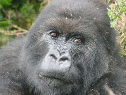 Poppy, 2015 / Dian Fossey Gorilla Fund / Click for more.