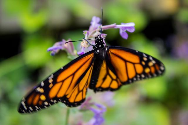 Monarch Butterfly / USFWS Midwest Office / Click for more.
