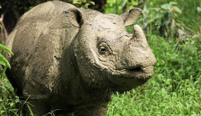Tam, Malaysia's last male Sumatran Rhino / Borneo Rhino Alliance, Smithsonian / Click for more.