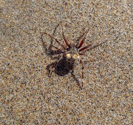 Unidentified spider, Little Hirtle's Beach, Kingsburg, NS, Friday, September 6, 2019